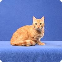 Adopt A Pet :: Linus Van Pelt (Kitten) - Cary, NC