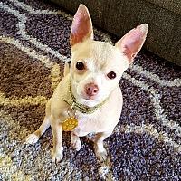 Adopt A Pet :: Bruiser - Schaumburg, IL