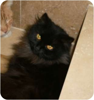 Domestic Longhair Cat for adoption in Brea, California - Minnie