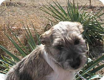 Terrier (Unknown Type, Medium)/Schnauzer (Miniature) Mix Dog for adoption in McLoud, Oklahoma - Chloe