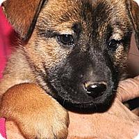 Adopt A Pet :: Corin - Phoenix, AZ
