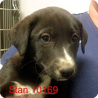 Adopt A Pet :: Stan - baltimore, MD