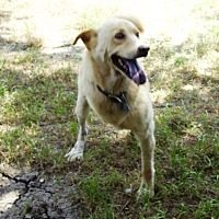 Labrador Retriever/Terrier (Unknown Type, Medium) Mix Dog for adoption in Grand Prairie, Texas - Beau