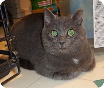 Domestic Shorthair Cat for adoption in Carlisle, Pennsylvania - AugieCP