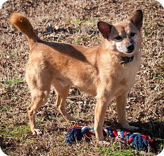 Corgi Mix Dog for adoption in Oxford, North Carolina - Corey