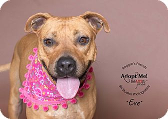 Boxer/American Staffordshire Terrier Mix Dog for adoption in Conroe, Texas - Eve