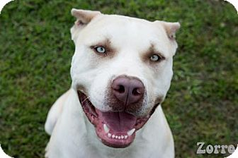 American Bulldog/Pit Bull Terrier Mix Dog for adoption in Livingston, Louisiana - Zorro