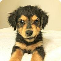 Adopt A Pet :: Rizzo - Bryanna Pup - Encino, CA