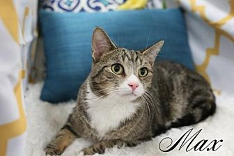 Domestic Shorthair Cat for adoption in knoxville, Tennessee - Max $45 Male