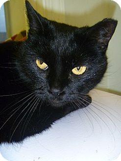 Domestic Shorthair Cat for adoption in Hamburg, New York - Blossom