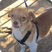 Toy Fox Terrier/Jack Russell Terrier Mix Dog for adoption in Glendale, Arizona - Sonny