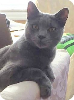 Russian Blue Cat for adoption in Ronkonkoma, New York - Tabitha