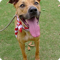 Labrador Retriever/American Staffordshire Terrier Mix Dog for adoption in Helena, Alabama - Elliott