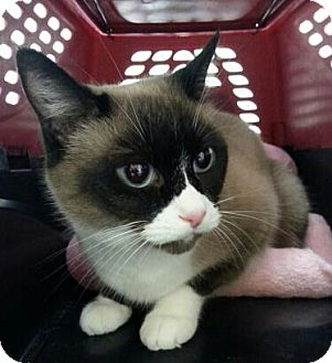 Snowshoe Cat for adoption in Austin, Texas - Oma