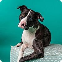 Adopt A Pet :: Pepper - Houston, TX