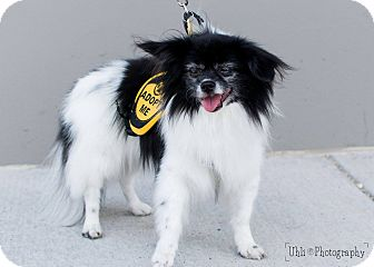 Japanese Chin/Pomeranian Mix Dog for adoption in Denver, Colorado - Philip