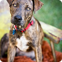 Adopt A Pet :: Godiva - Dallas, TX