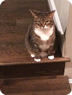 Domestic Shorthair Cat for adoption in Baltimore, Maryland - Clawdia (COURTESY POST)