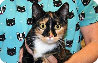 Domestic Shorthair Cat for adoption in Wildomar, California - 323153