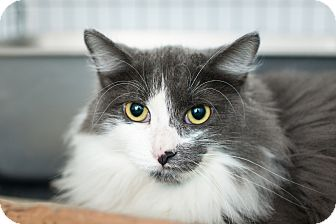 Domestic Mediumhair Cat for adoption in Los Angeles, California - Priscilla