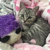 Domestic Shorthair Kitten for adoption in Newport Beach, California - Shelby