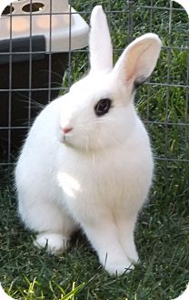 Dwarf Hotot for adoption in Santee, California - Prissy