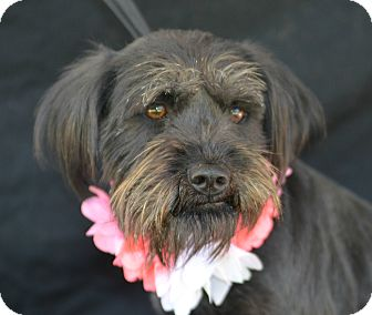 Schnauzer (Miniature) Dog for adoption in Plano, Texas - Liza