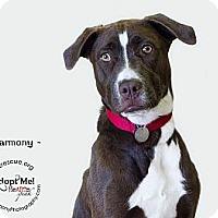 Adopt A Pet :: Harmony - Phoenix, AZ