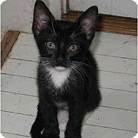 Adopt A Pet :: Maggie kitten - Cincinnati, OH