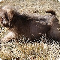 Adopt A Pet :: Wickett - Broomfield, CO