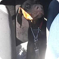 Adopt A Pet :: Brie - Arlington, VA