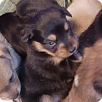 Adopt A Pet :: EBONY'S TRI BOY - Pompton Lakes, NJ