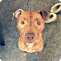 Adopt A Pet :: Tiger Lily - Indianapolis, IN