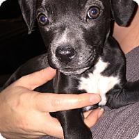 Adopt A Pet :: Jessie Spano - San Diego, CA