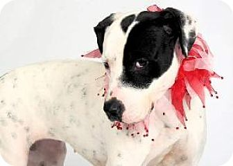 Staffordshire Bull Terrier Mix Dog for adoption in Richardson, Texas - Carlie