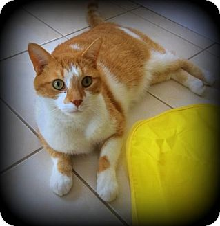 Domestic Shorthair Cat for adoption in Richmond Hill, Ontario - Sammy *Declawed*