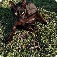 Domestic Shorthair Cat for adoption in Camilla, Georgia - Pika