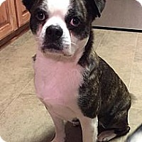 Boston Terrier/Terrier (Unknown Type, Small) Mix Dog for adoption in Alexandria, Virginia - Scotty Pippin
