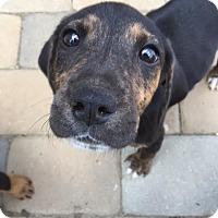 Adopt A Pet :: Trinity - Tenafly, NJ