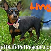 Adopt A Pet :: Livvy - Wellington, FL