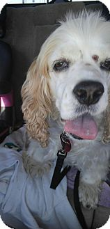 Cocker Spaniel Dog for adoption in Ponca City, Oklahoma - Daisy