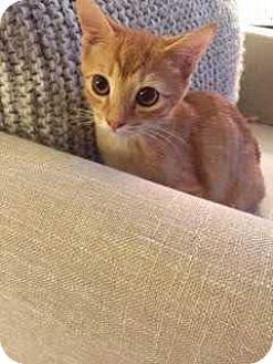 Domestic Shorthair Kitten for adoption in Manhattan, New York - Jupiter
