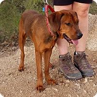 Hound (Unknown Type)/Foxhound Mix Dog for adoption in Higley, Arizona - RUFUS