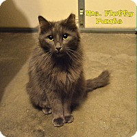 Maine Coon Cat for adoption in Sherman Oaks, California - Ms. Fluffy Pants