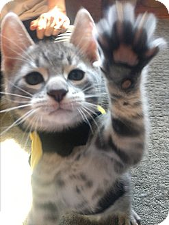 Domestic Shorthair Kitten for adoption in Mount Laurel, New Jersey - Phoenix