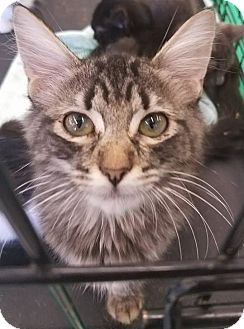 Domestic Mediumhair Kitten for adoption in Phoenix, Arizona - Chip