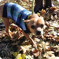 Chihuahua Dog for adoption in Hyde Park, New York - Chalupa