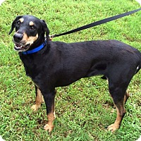 Adopt A Pet :: Harper - Arlington, TN