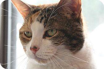 Domestic Shorthair Cat for adoption in Pendleton, New York - Caramaria