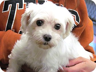Havanese Mix Dog for adoption in House Springs, Missouri - Nora